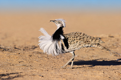 Muži, ktorí majú veľké vtáky